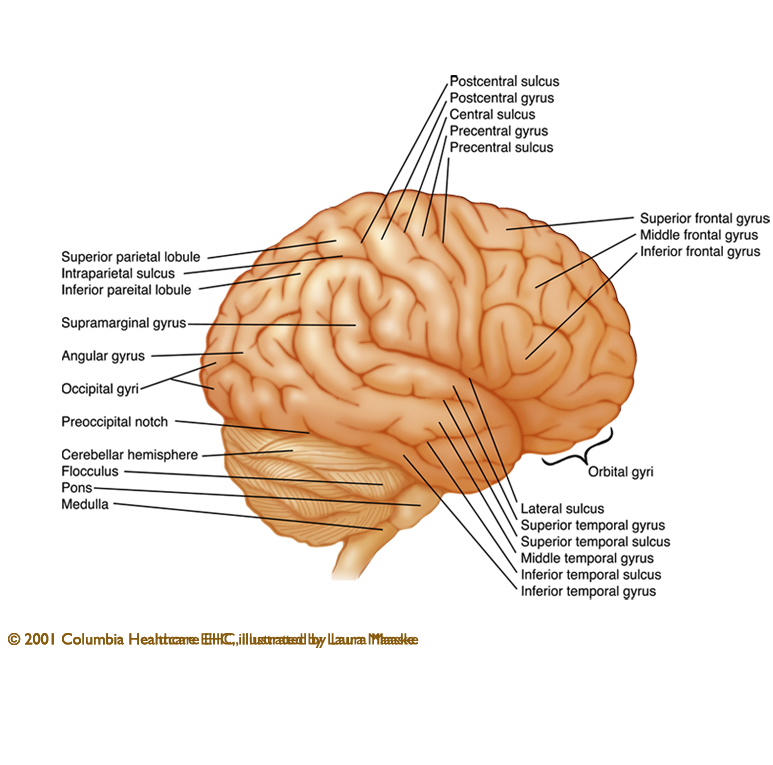 Brain anatomy. Information about of the