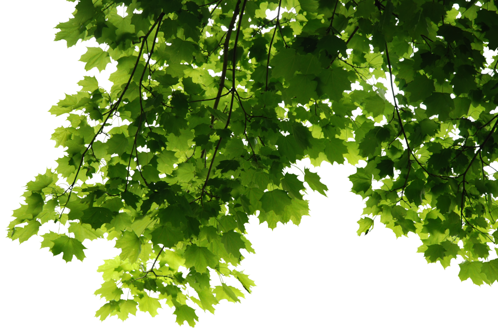 Branch leaves png. Hd tree render by