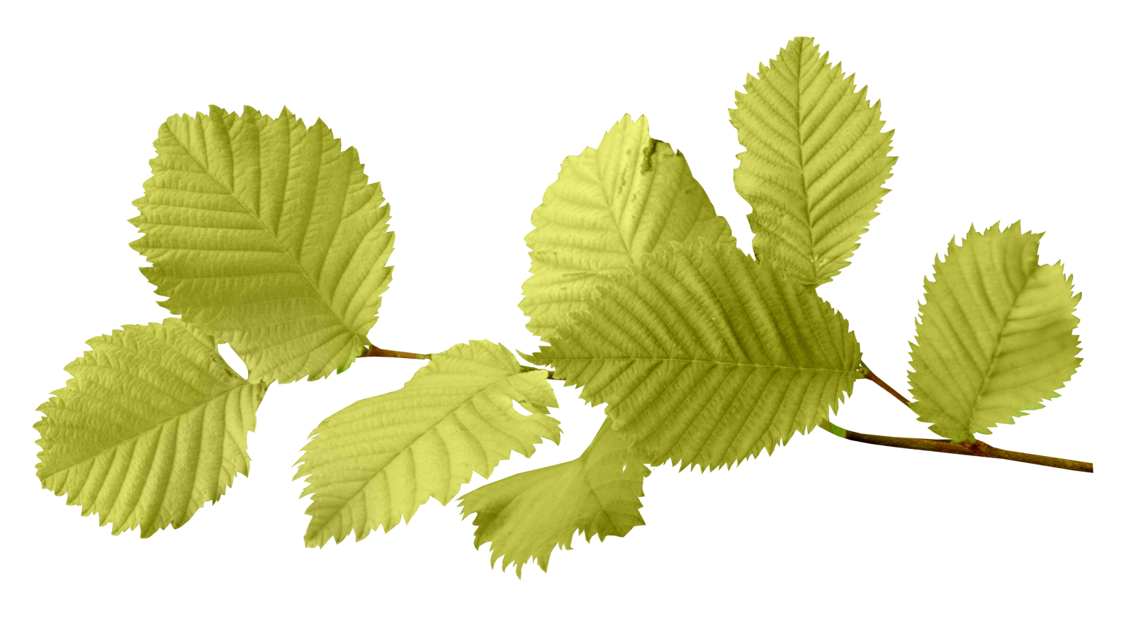 Branch leaves png. Autumn image purepng free