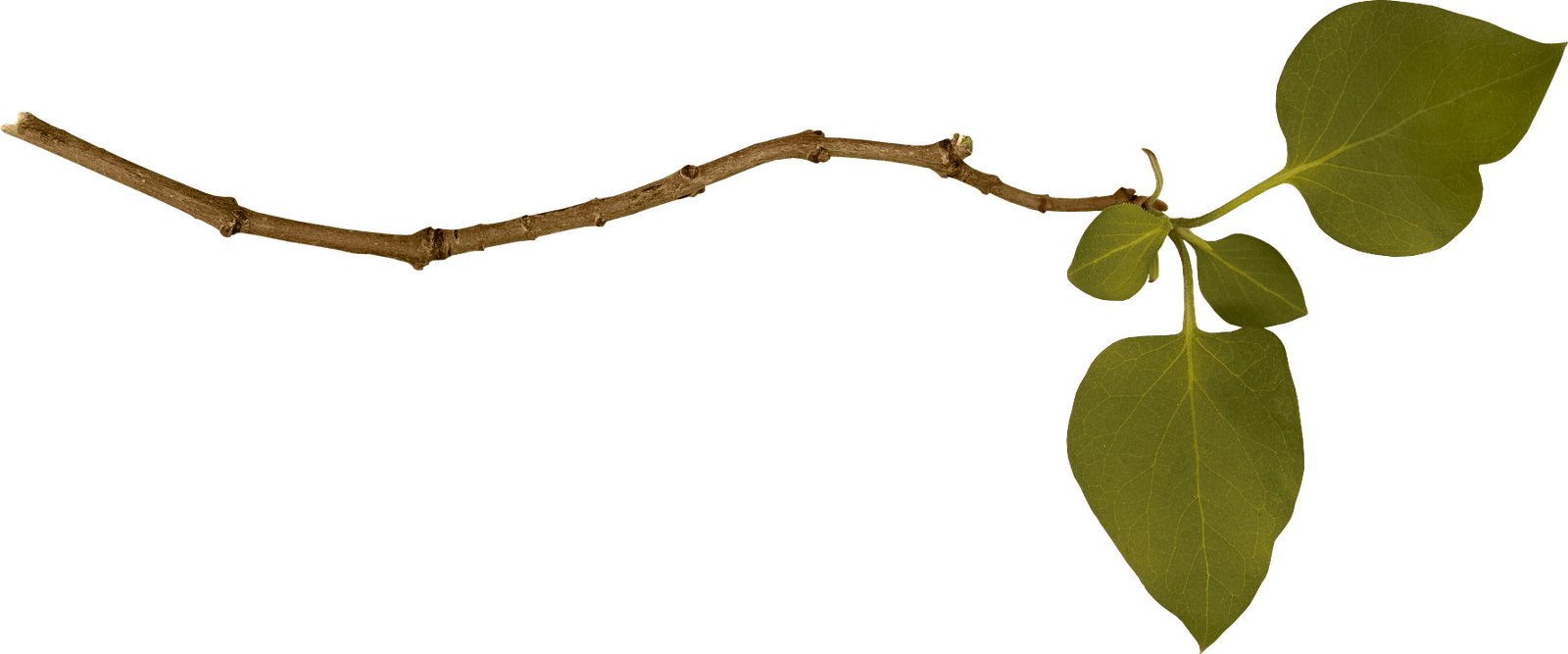 Branch png. Single left transparent stickpng