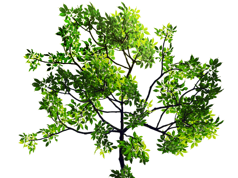 Branch texture png. Green leaves tree stock