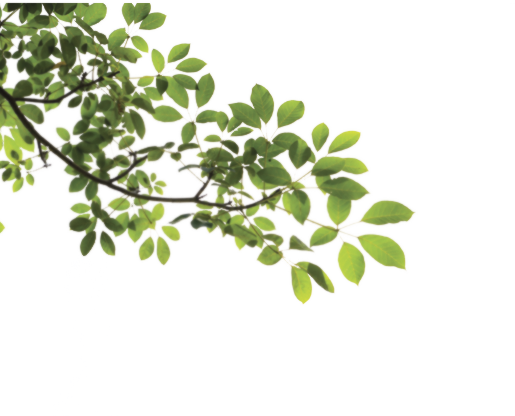 Branch with leaves png. Transparent images all