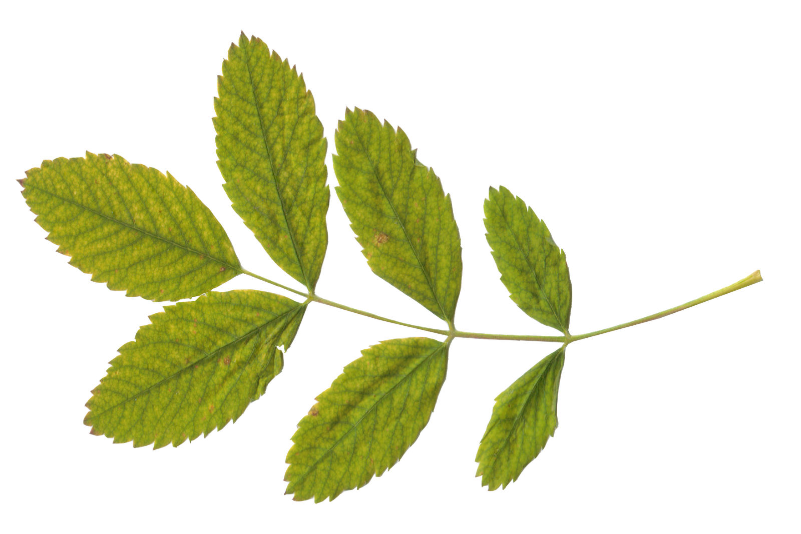 Branch with leaves png. Green images free download