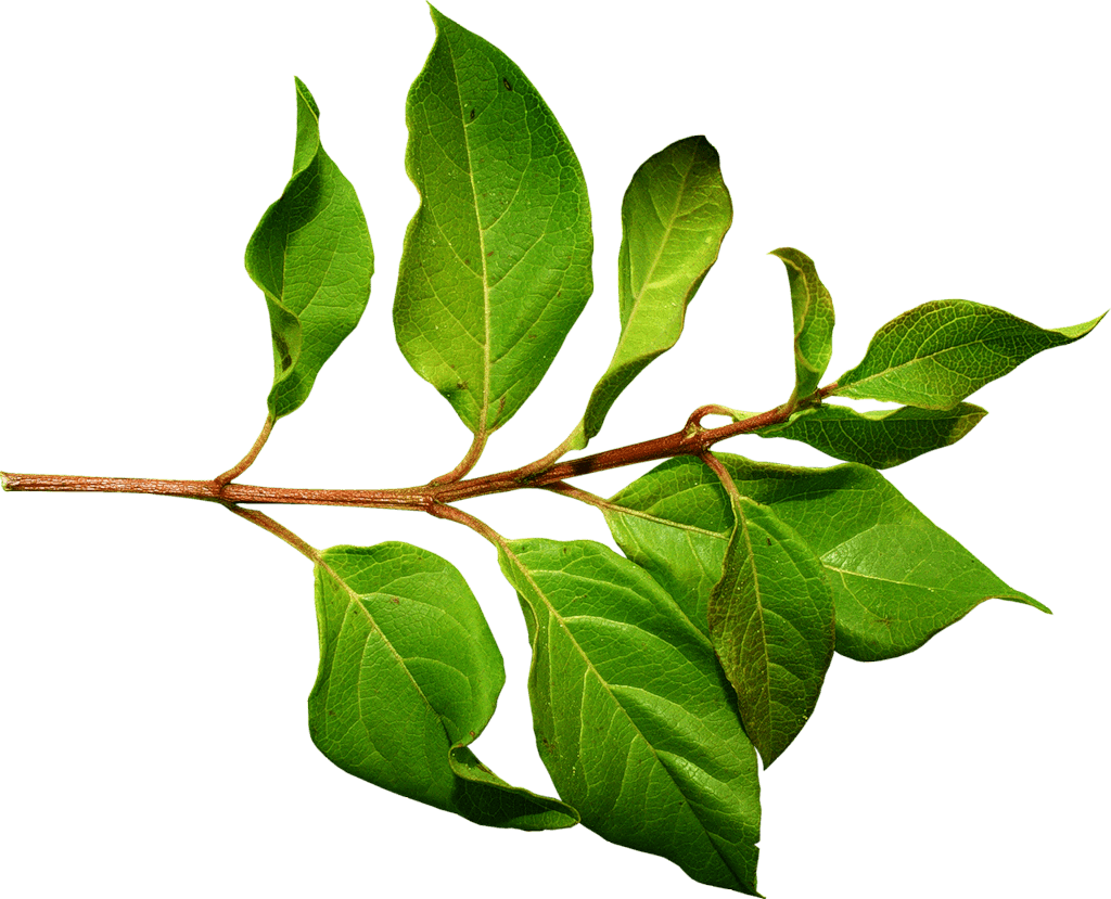 green leaf laurel png