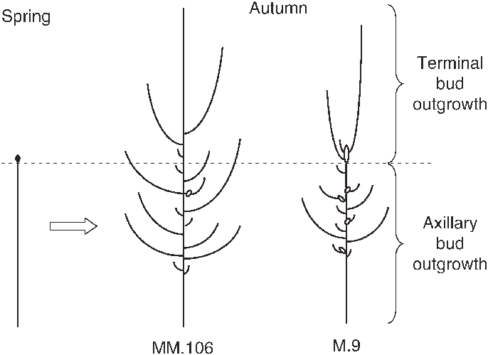Bud drawing growth. Schematic representation of rootstock