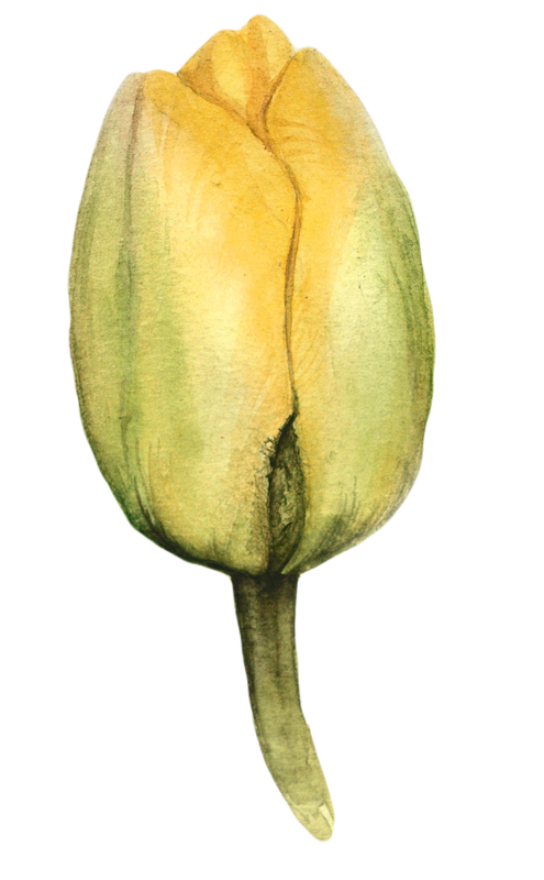 Bud drawing abstract. Watercolor tulips painting pinterest