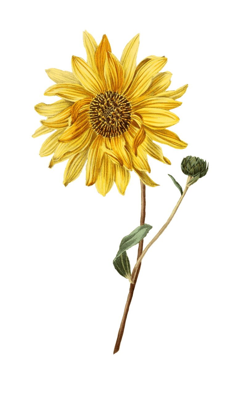 Bud drawing sunflower. And png photos