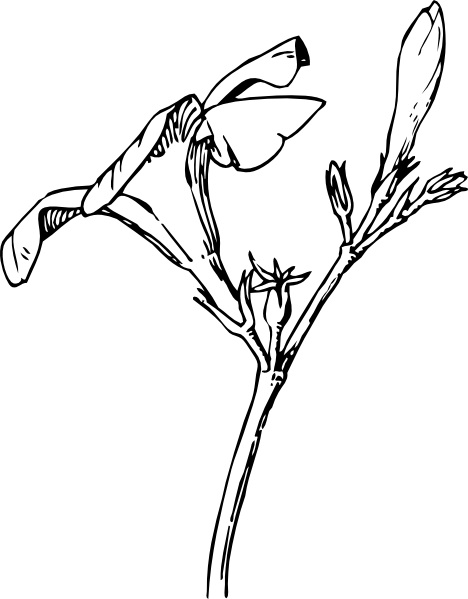 Bud drawing. Oleander flower scientific google