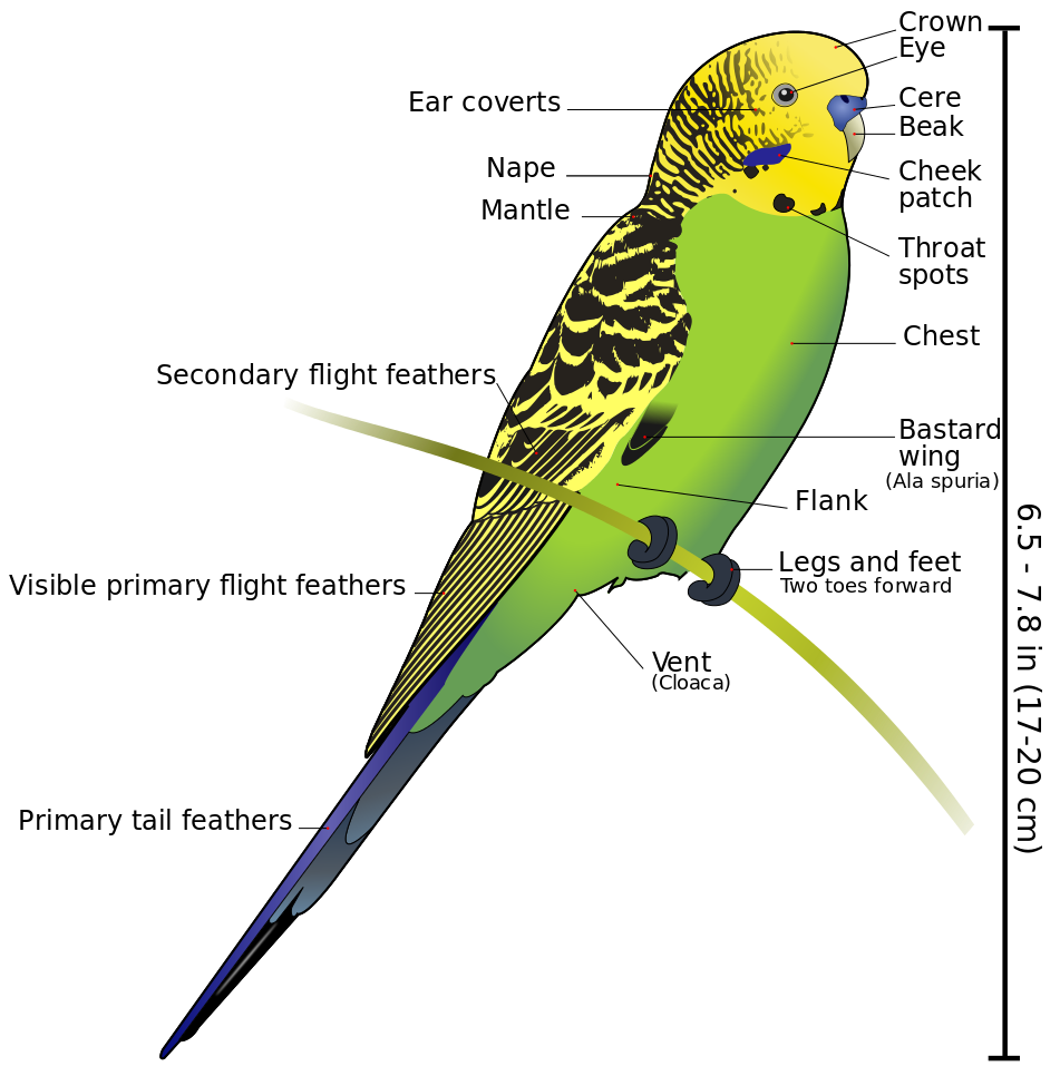 Budgie drawing budgerigar. Diagram labeled wikipedia the