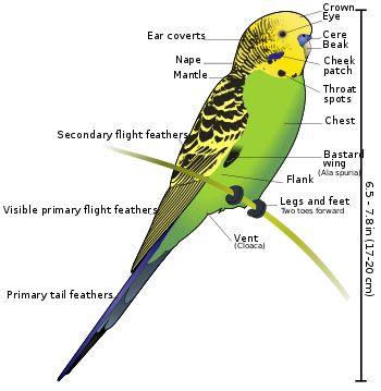 Budgie drawing gangster. Budgerigar wikivisually anatomy of