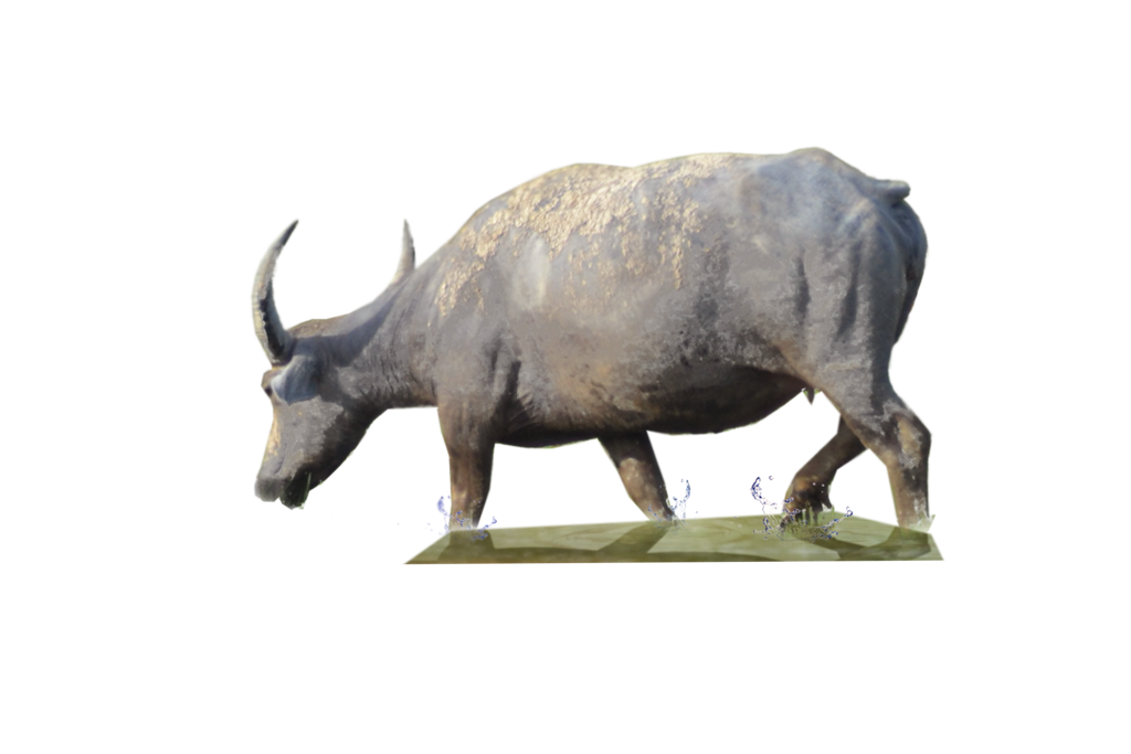 Buffalo transparent cow. Free png images download