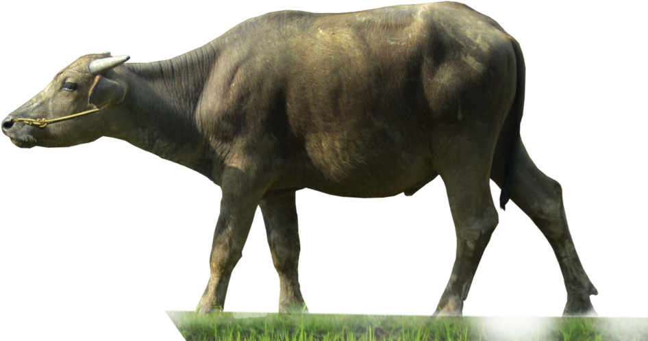 Buffalo transparent background. Download png image with