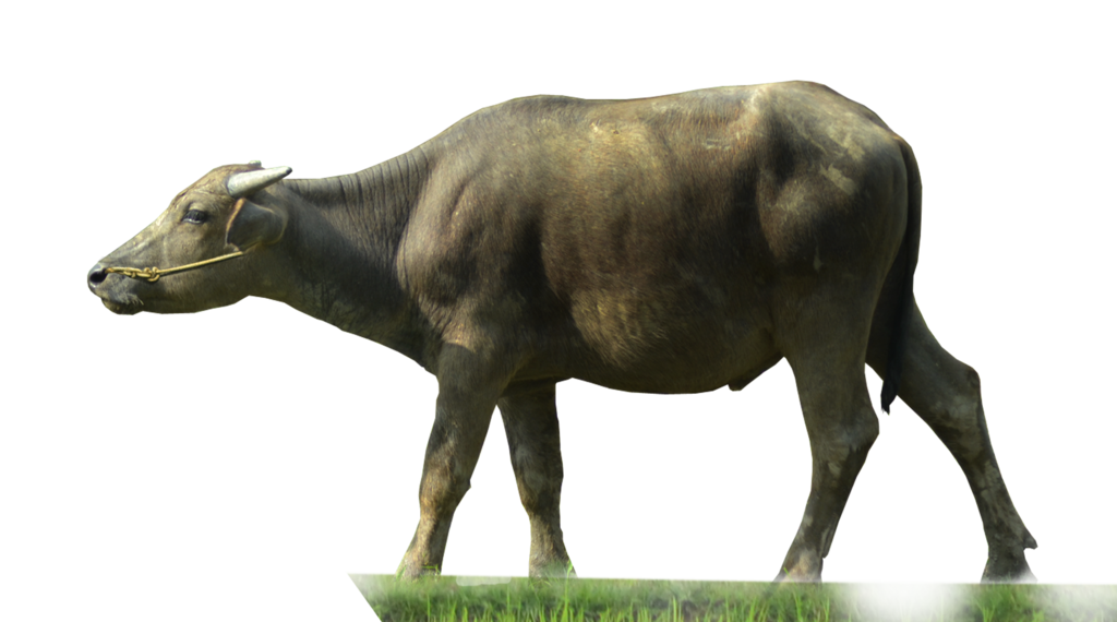 Buffalo transparent background. Water png hd mart