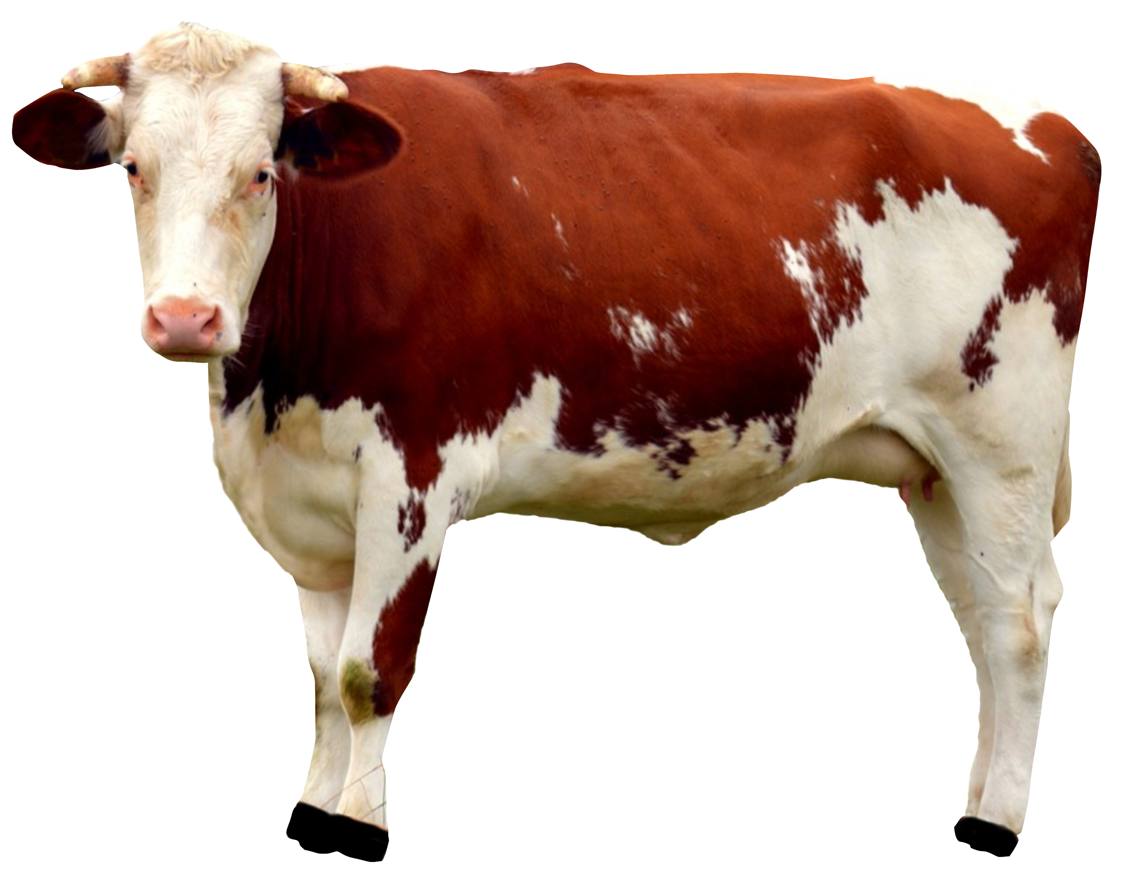 Buffalo transparent cow. Png image purepng free
