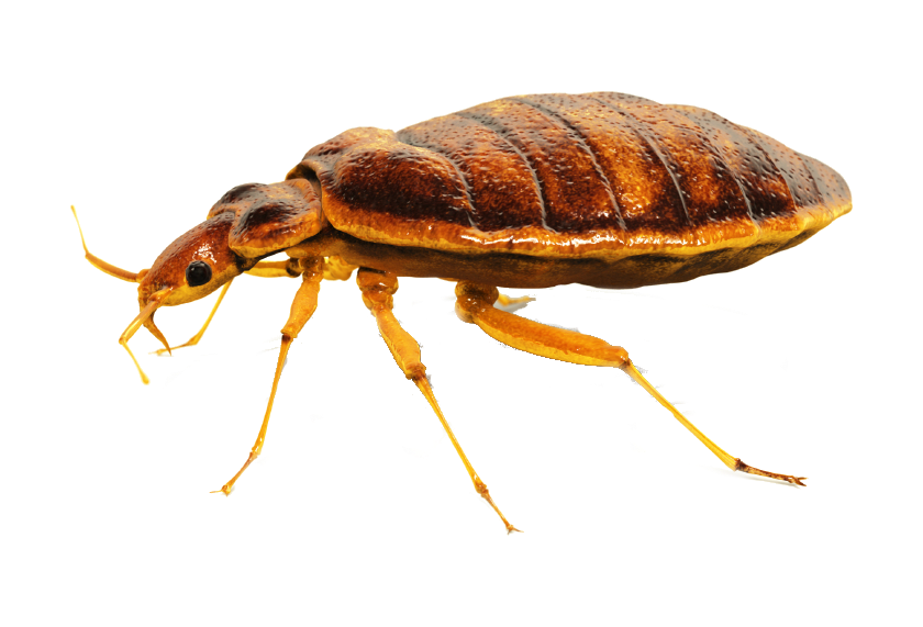Bug transparent. Bed png