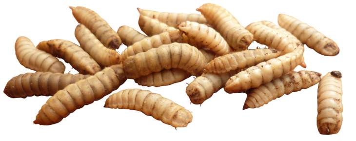 Bugs vector maggot. Insects png images frrr