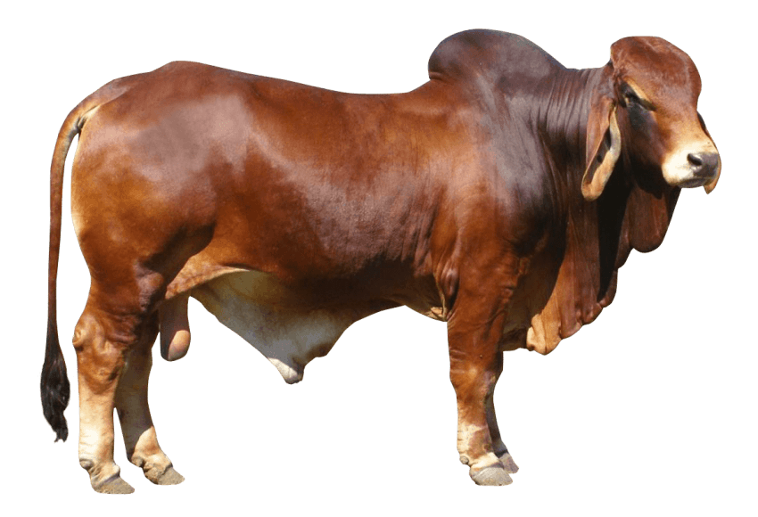 Bull png. Free images toppng transparent