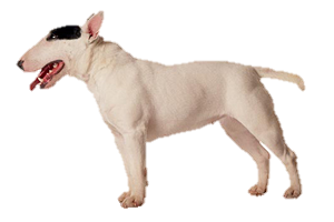 Bull terrier png. Worldly dogs