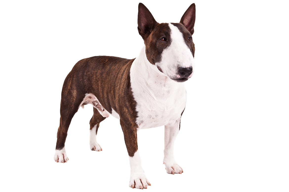 Bull terrier png. Miniature dog breed information