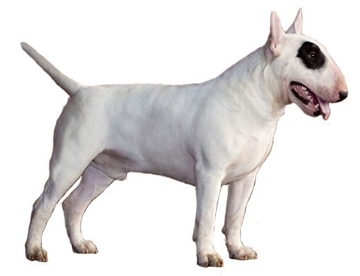 Bull terrier png. This youtube video annoys
