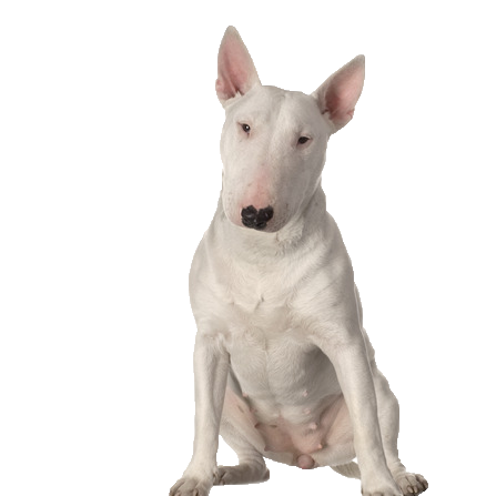 Bull terrier png. Beds collars and accessories