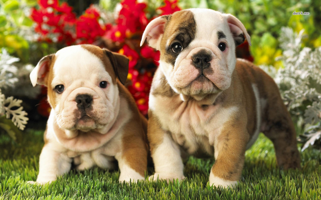 Bulldog clipart bulldog puppy. Hd wallpaper background images