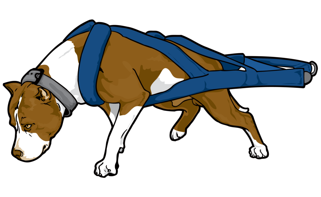 Bully drawing weight. American pit bull terrier
