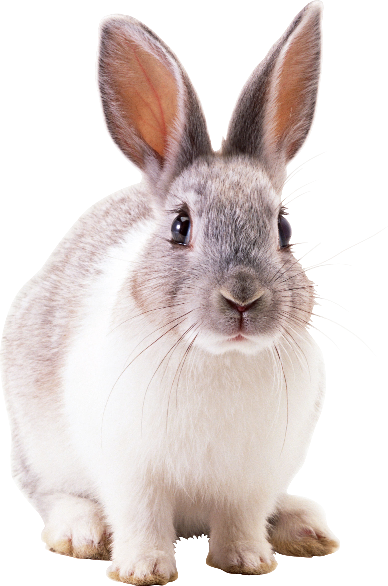 rabbit png transparent