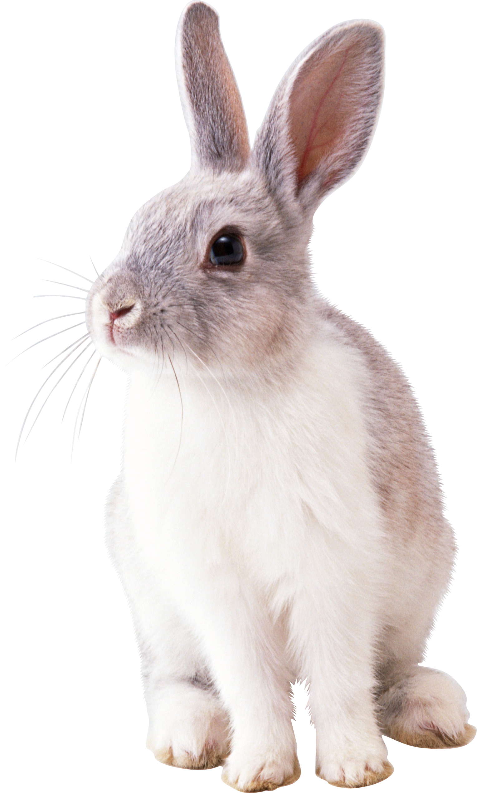 Bunny rabbit png. Images transparent free download