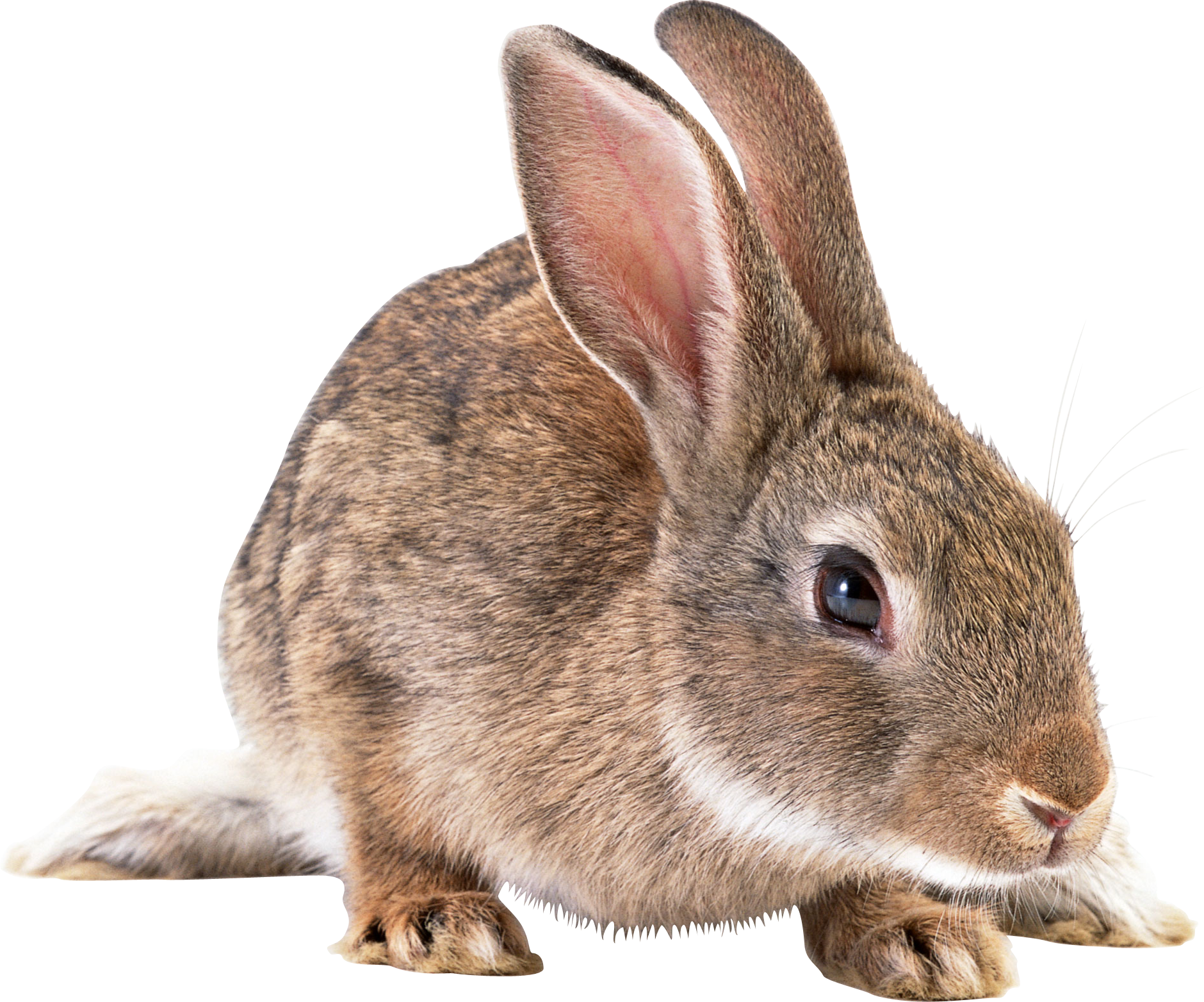 Vector rabbit brown. Four isolated stock photo