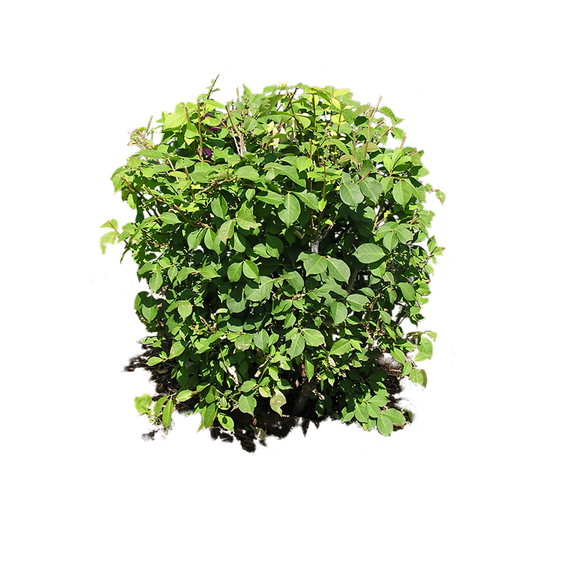 bushes in plan png