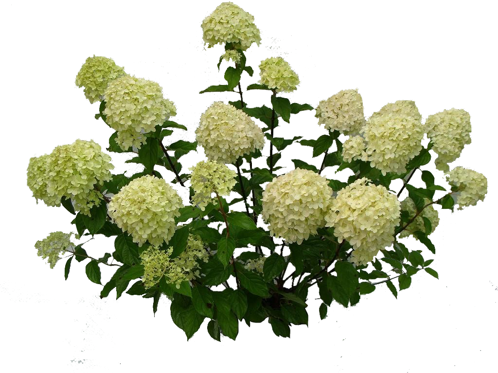 Bushes .png. Hydrangea paniculata limelight png