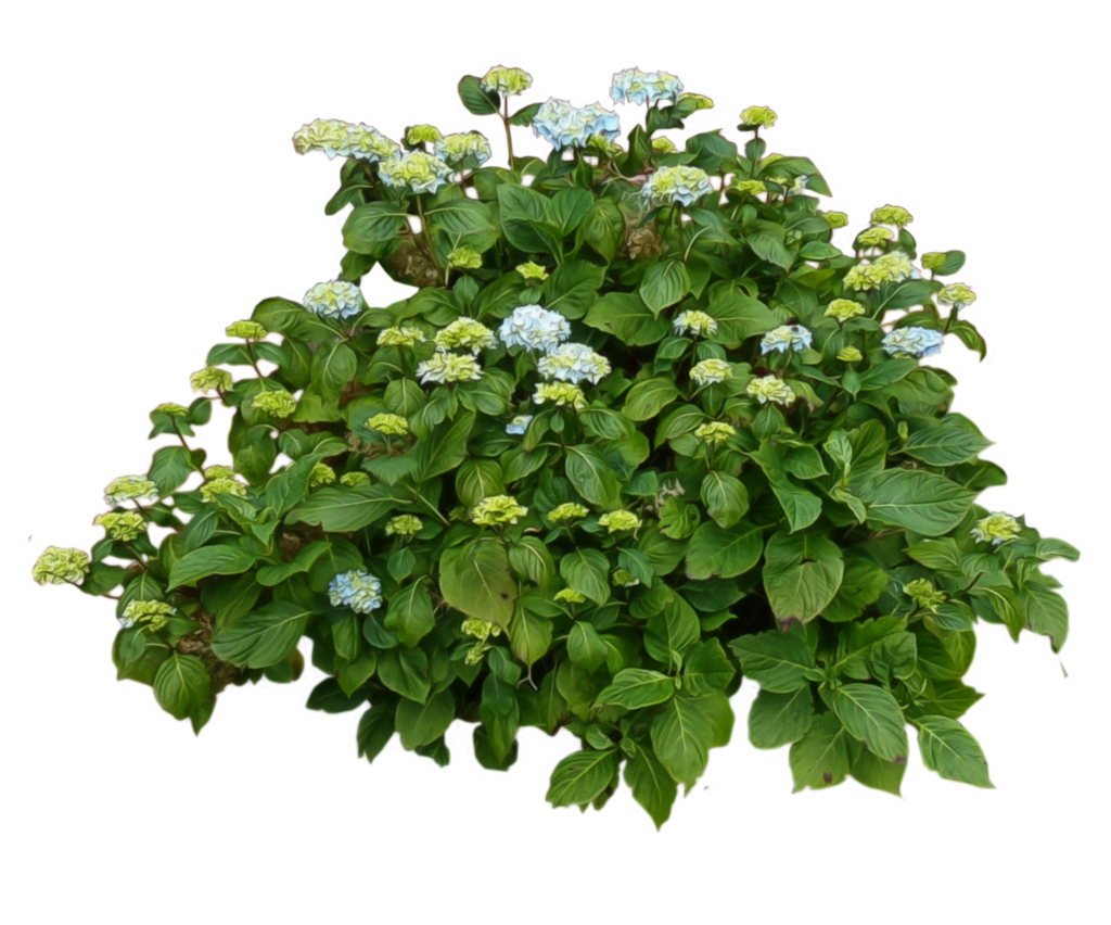 Bushes png. Shrub transparent images all
