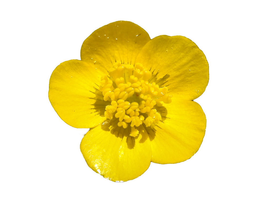 Buttercup flower png. By bunny with camera