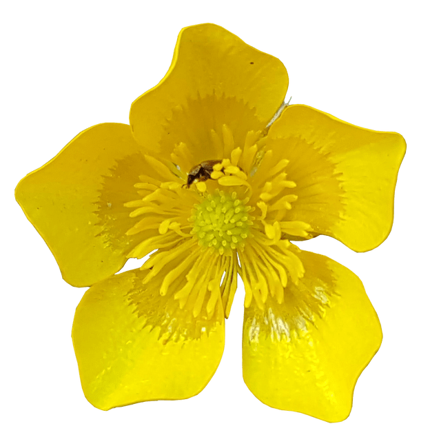 Buttercup flower png. With insects no background