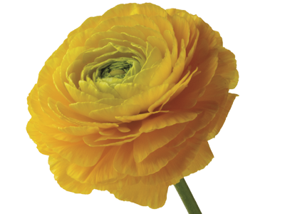 Buttercup flower png. Ranunculus meaning symbolism teleflora