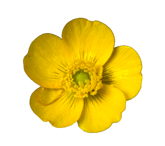 Buttercup flower png. Lets walk on the