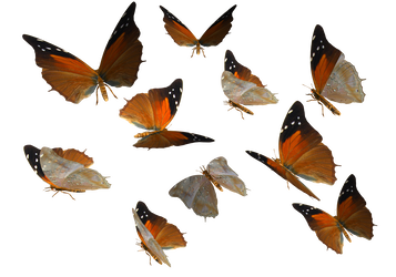 Butterflies png. Stock transparent by madetobeunique