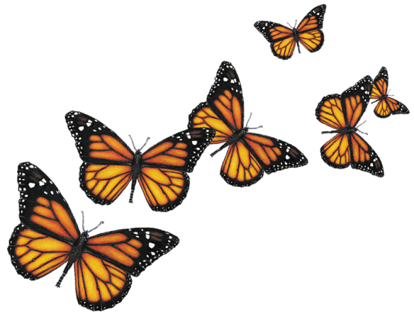 Butterflies png transparent. Butterfly free images toppng