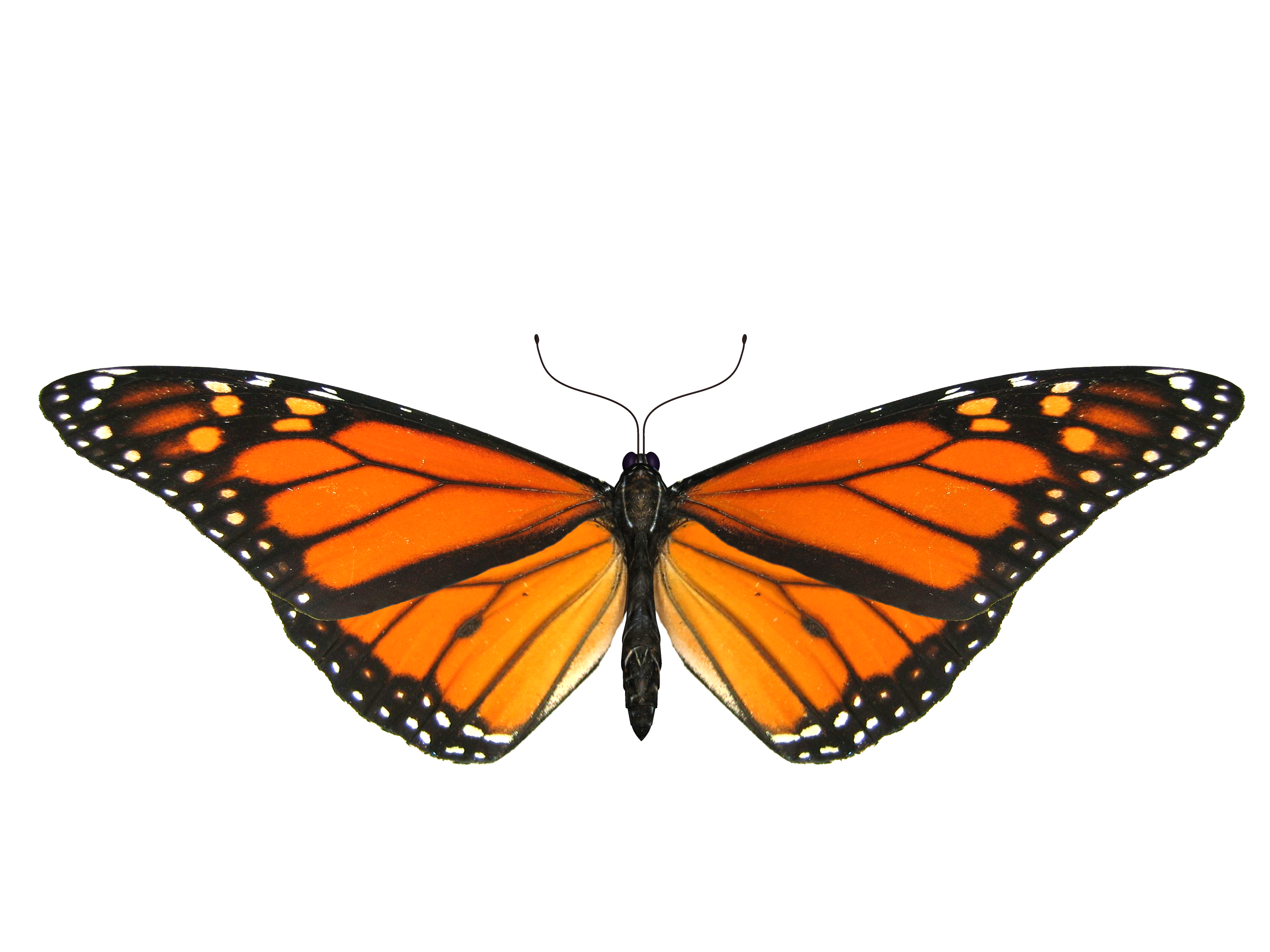 Butterflies png transparent. Butterfly image free picture