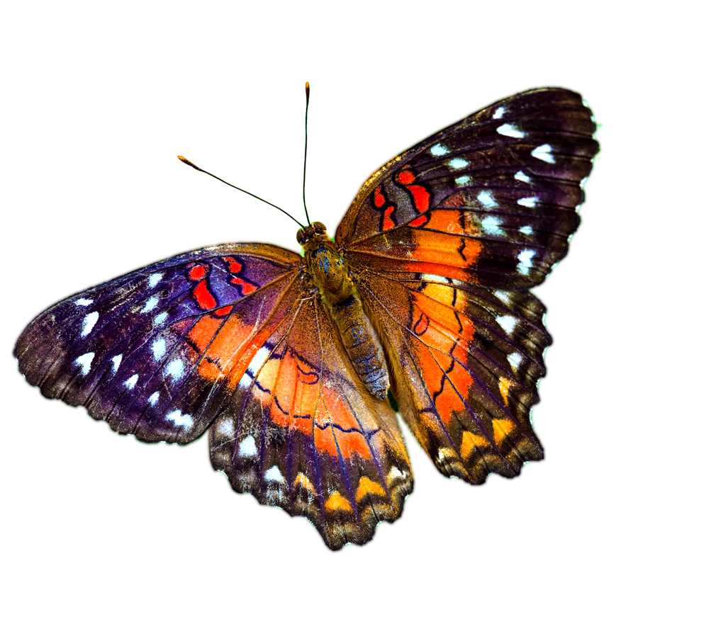 Butterflies png transparent. Multicolour butterfly image background