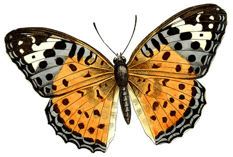 Butterfly clip art realistic. Free real cliparts download