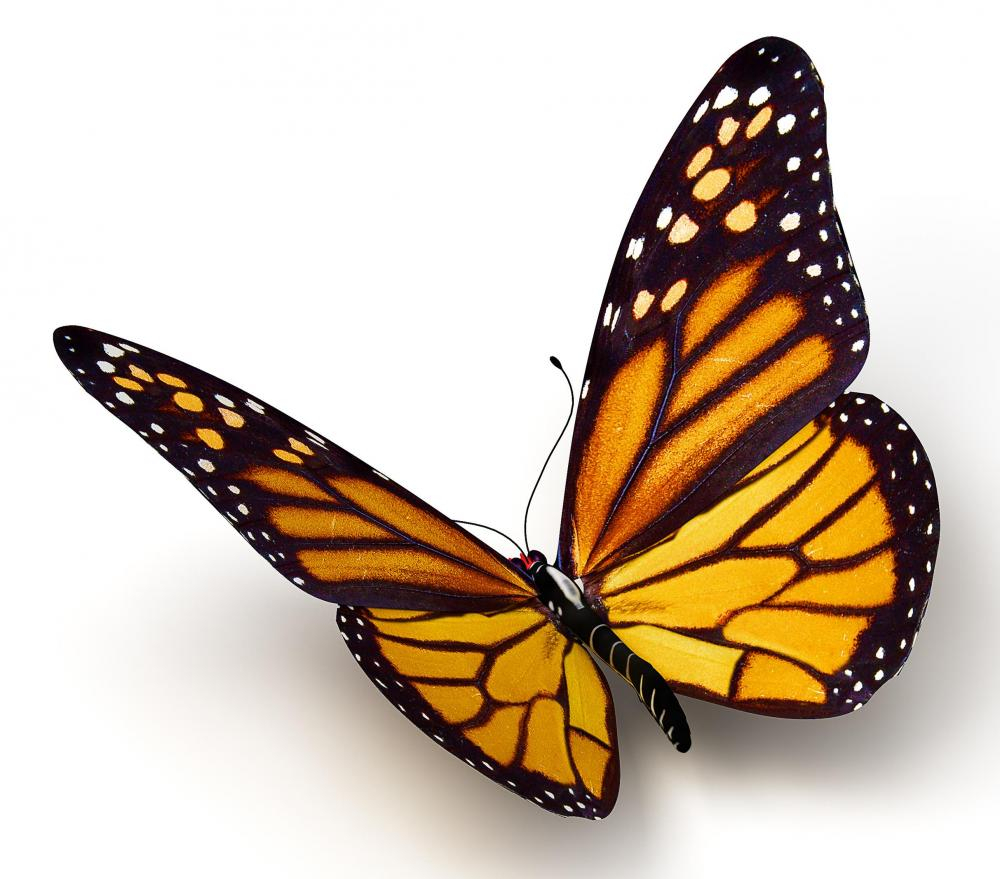 Butterfly clip art realistic. Butterflies drawings drawing how