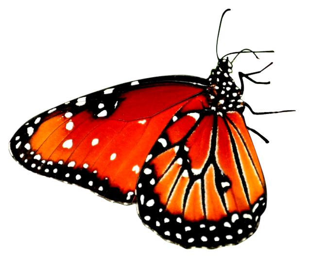 red butterfly png