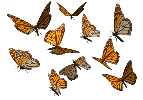 Butterfly overlay png. Monarch clipart by madetobeunique