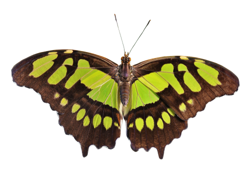 Butterfly png. Transparent image pngpix