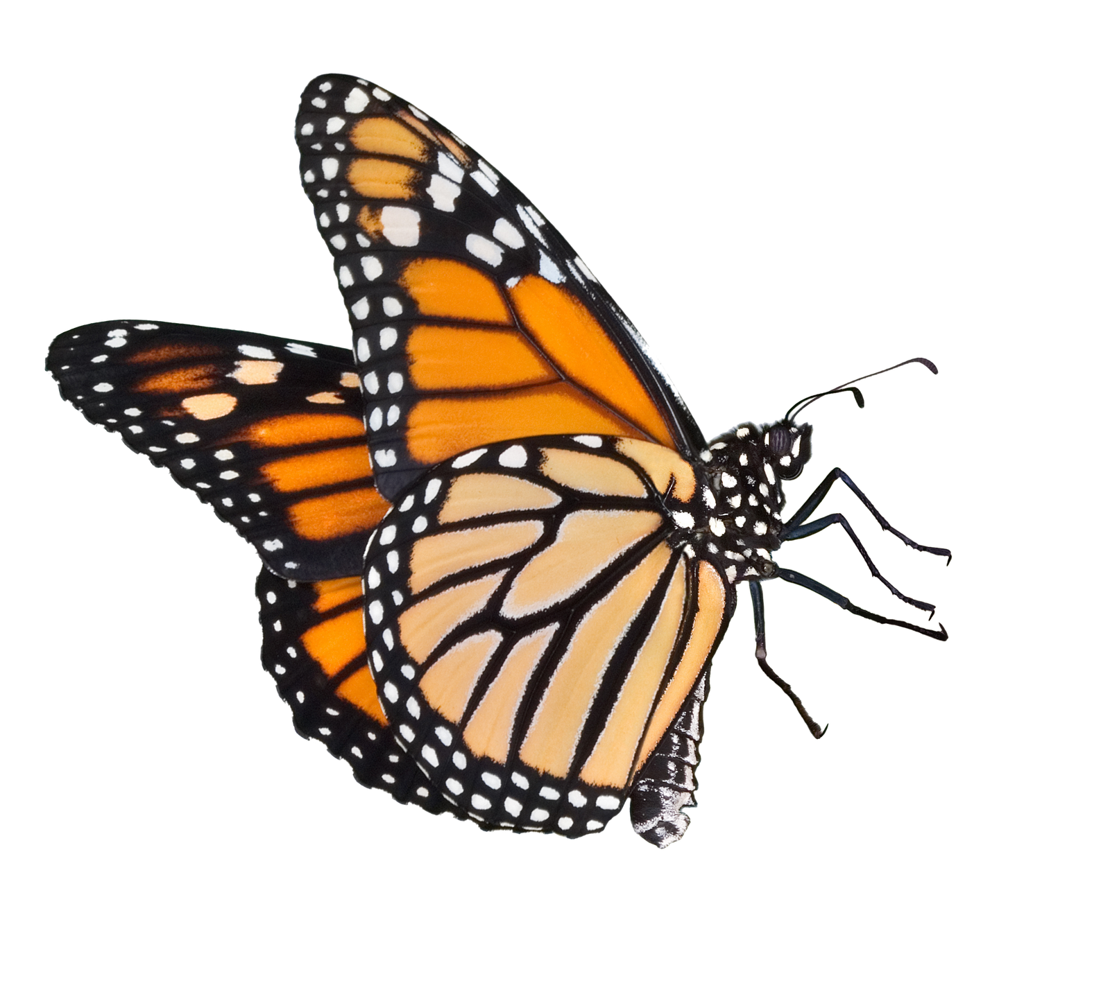 Png butterflies. Transparent pictures free icons