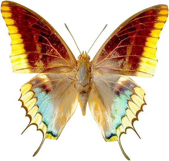 Png transparent clipart gallery. Butterfly clip art realistic picture library stock