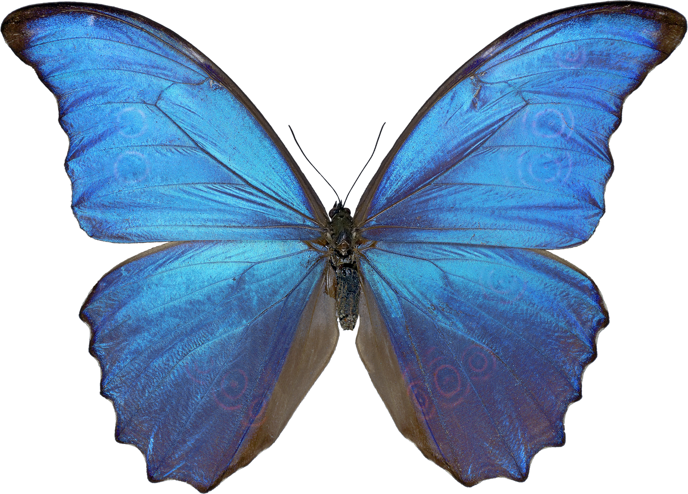 Butterfly png. Image free picture download