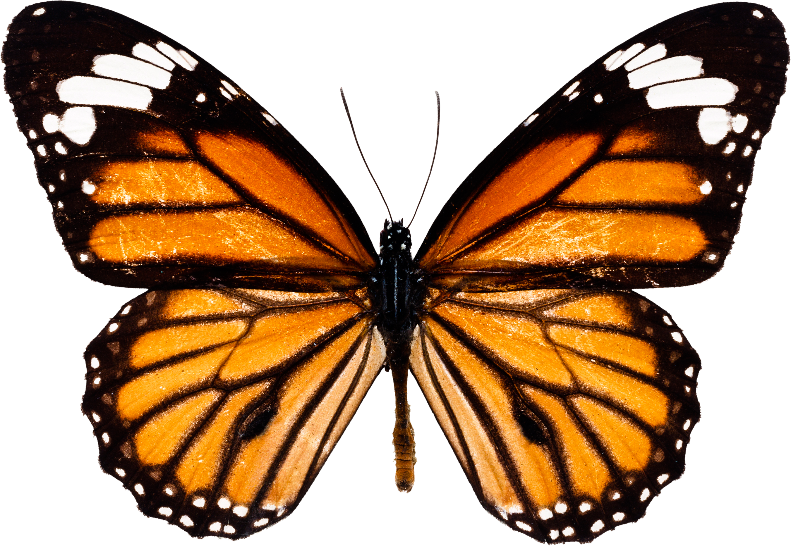 Butterfly wing png. Image free picture download